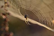 European garden spider, Araneus diadematus, hanging at spider's web - MJOF000726