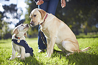 Guide dogs at dog training - ZEF000866