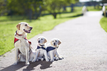 Three guide dogs at dog training - ZEF000869