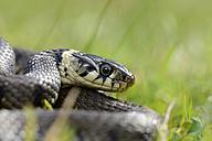 Portrait of grass snake, Natrix natrix - MJOF000742