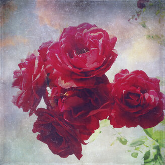Red roses - LVF001913