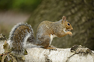 Grey squirrel, Sciurus carolinensis, sitting on a tree trunk - MJOF000750