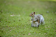 Grey squirrel, Sciurus carolinensis, sitting on a meadow - MJOF000754
