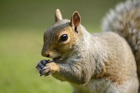 Portrait of eating Grey squirrel, Sciurus carolinensis - MJOF000756