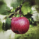 Red apple on tree - SARF000833