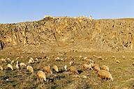 Turkey, Mediterranean region, Adana Province, Cukurova, Dilekkaya, ancient city Anazarbus, flock of sheep - SIEF005975