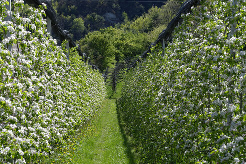 Italy, South Tyrol, blossoming apple trees near Altenburg - LBF000949