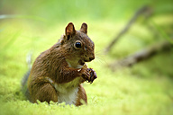 Eating Eurasian red squirrel, Sciurus vulgaris - MJOF000761