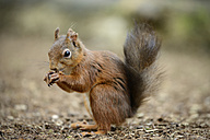 Eurasian red squirrel, Sciurus vulgaris - MJOF000762