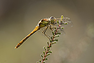 Common darter, Sympetrum striolatum, hanging at a twig - MJOF000766