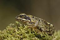 Portrait of Common frog, Rana temporaria, sitting on moss - MJOF000760