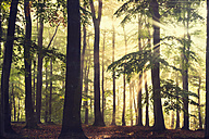Beech forest in the morning at backlight - DWI000215