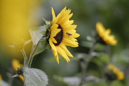 Blossom of sunflower, Helianthus annuus, and honey bee on foraging flight - LBF000958