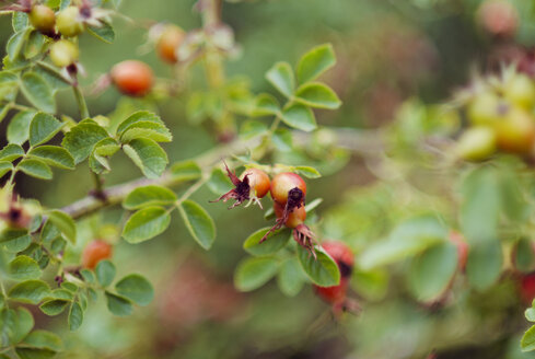 Germany, Rosehips in autumn - CZF000172