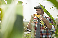 Portrait of farmer testing corn cob in a maizefield - UUF002019