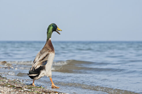 Germany, Schleswig-Holstein, mallard, Anas platyrhynchos, walking into the water - HACF000173