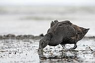 Germany, Schleswig-Holstein, mallard, Anas platyrhynchos, foraging at waterside - HACF000178