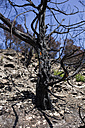 Spain, Balearic Islands, Ibiza, tree after a forest fire - TKF000404