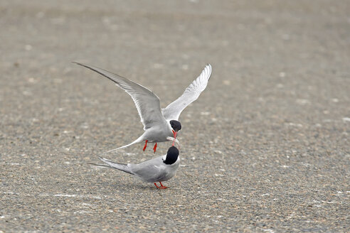 Germany, Schleswig-Holstein, two terns, Sternidae, quarreling for a fish - HACF000186