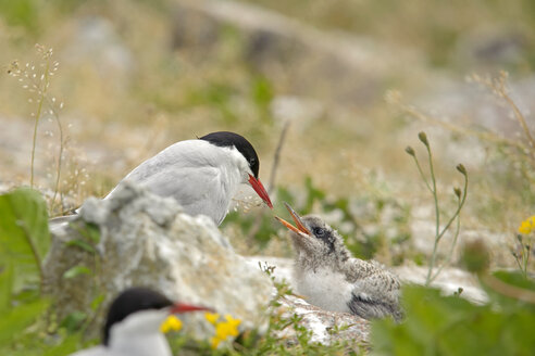 Germany, Schleswig-Holstein, tern family, Sternidae - HACF000187