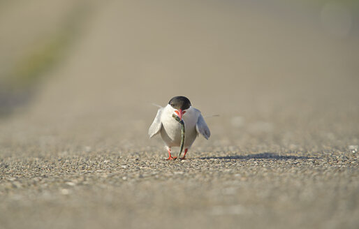 Germany, Schleswig-Holstein, tern, Sternidae, with prey - HACF000188