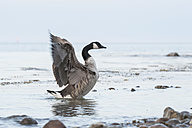 Germany, Schleswig-Holstein, canada goose, Branta canadensis, with spread wings standing at waterside of the sea - HACF000192
