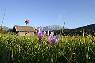 Germany, Bavaria, Upper Bavaria, Werdenfelser Land, Karwendel mountains, Gerold, Crocus on meadow - LHF000413