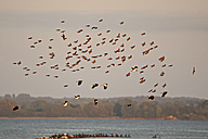 Germany, Schleswig-Holstein, flock of flying lapwings, Vanellus vanellus, and starlings, Sturnus vulgaris, at twilight - HACF000201