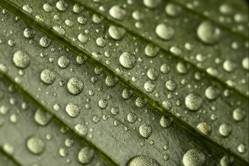 Leaf with waterdrops, close-up - MJOF000800