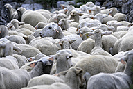 Spain, Ordesa National Park, migratory flock of sheep - DSGF000394