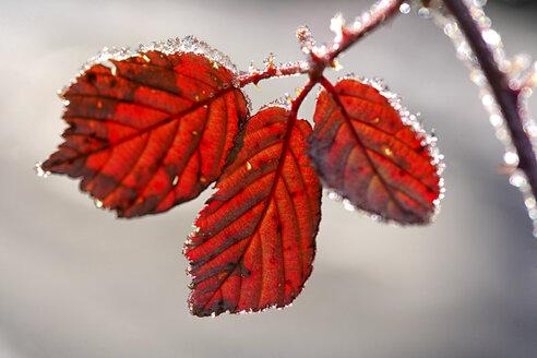 Leaf of a Rubus plant in autumn - DSGF000430