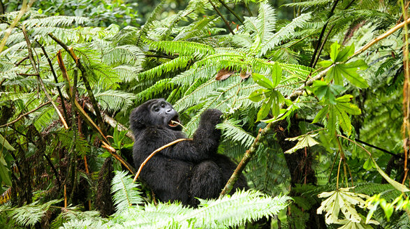 Uganda, Bwindi Impenetrable National Park, Bwindi Impenetrable Forest, mountain gorilla - DSGF000372