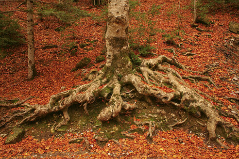 Spain, Ordesa National Park, tree in autumn forest - DSGF000414