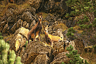 Spain, Ordesa National Park, chamois - DSGF000469