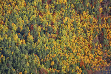Spain, Ordesa National Park, coniferous forest in autumn - DSGF000472