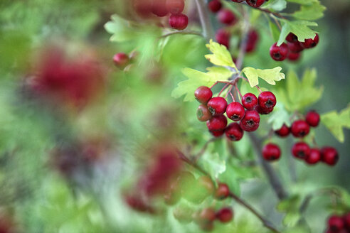 Close up of red hawthorn berries, Crataegus monogyma - DSGF000649
