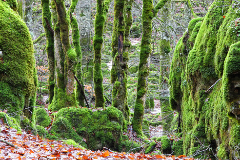 Spain, Urbasa-Andia Natural Park, Moss grown trees - DSGF000679