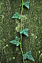 Spain, Urkiola Natural Park, Ivy on tree trunk - DSGF000692