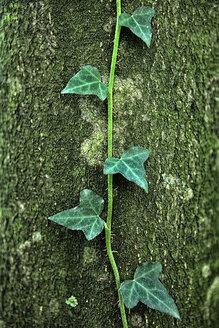 Spain, Urkiola Natural Park, Ivy on tree trunk - DSGF000692
