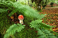 Spain, Urkiola Natural Park, Fly agaric under ferns - DSGF000709