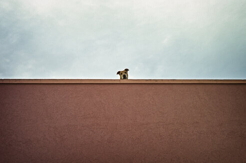 Pit bull terrier watching from top of a roof - DIKF000123