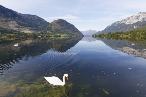 Austia, Styria, Salzkammergut, mute swan on Lake Grundlsee - SIEF006067