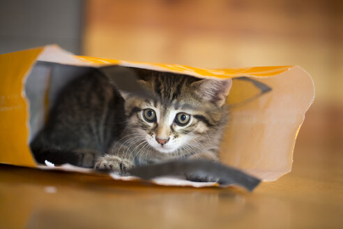 Young tabby cat lying in a paper bag - SARF001176