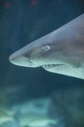 Portrait of shark in an aquarium - ZEF001250