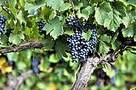 Argentina, Mendoza Province, Maipu, grape variety Malbec vine - FLKF000513