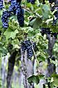 Argentina, Mendoza Province, Maipu, grape variety Syrah vine - FLKF000500