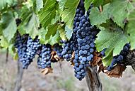 Argentina, Mendoza Province, Maipu, grape variety Malbec vine - FLKF000505