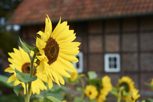 Sunflowers, Helianthus Annuus, in front of a traditional Westphalian farmhouse - HAW000477