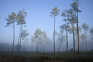 France, Aquitaine, Landes, Pine forest in the morning light - LAF001095