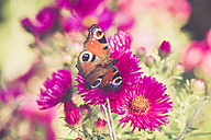 Peacock butterfly, Inachis Io, sitting on blossom of pink aster - SARF000891